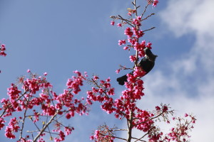 Spring is here, tui drinking nectar from courtyard cherry tree